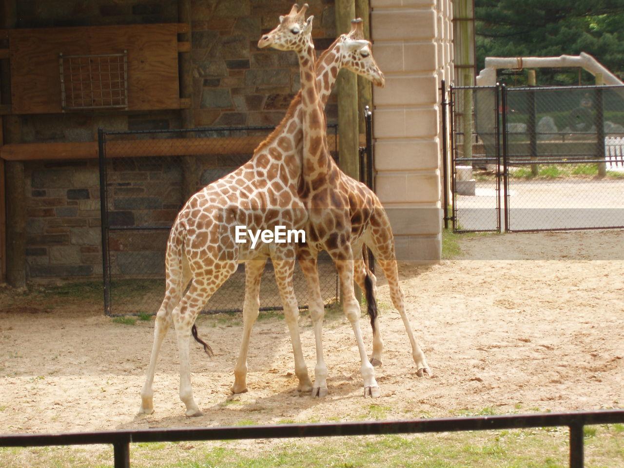 Giraffe calves on field in zoo