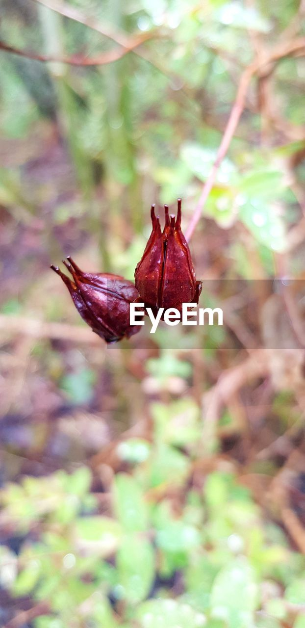 plant, close-up, focus on foreground, nature, no people, day, beauty in nature, growth, flowering plant, flower, plant part, freshness, leaf, vulnerability, fragility, outdoors, tree, red, land, dry, flower head, maroon