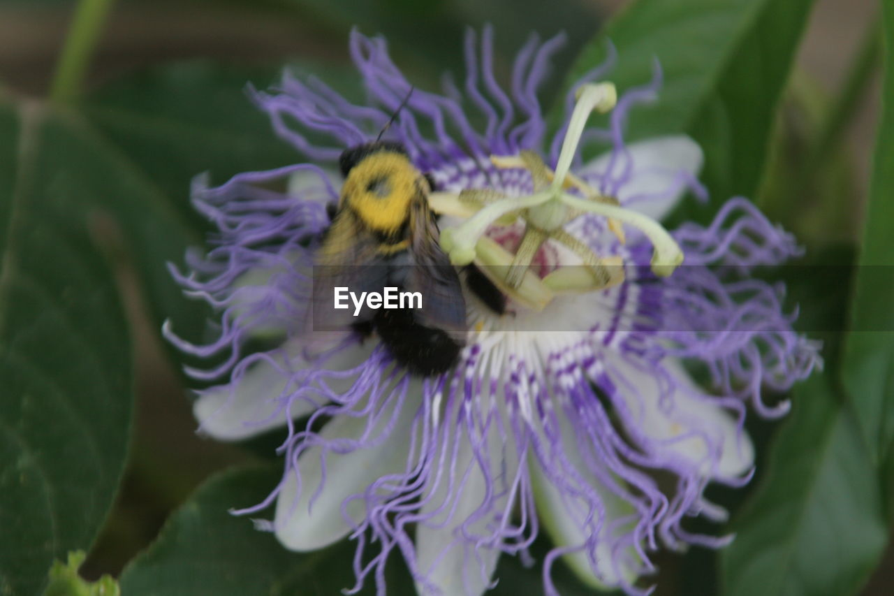 flower, fragility, one animal, petal, animal themes, insect, animals in the wild, purple, beauty in nature, nature, flower head, growth, bee, freshness, animal wildlife, plant, no people, outdoors, day, close-up, pollination