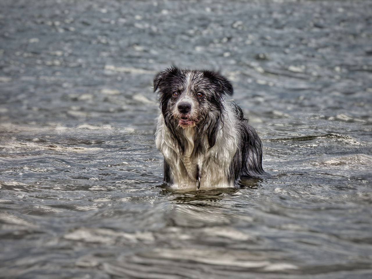 one animal, canine, animal themes, dog, mammal, domestic, animal, pets, domestic animals, vertebrate, water, portrait, day, wet, looking at camera, nature, waterfront, no people, selective focus, outdoors, animal head