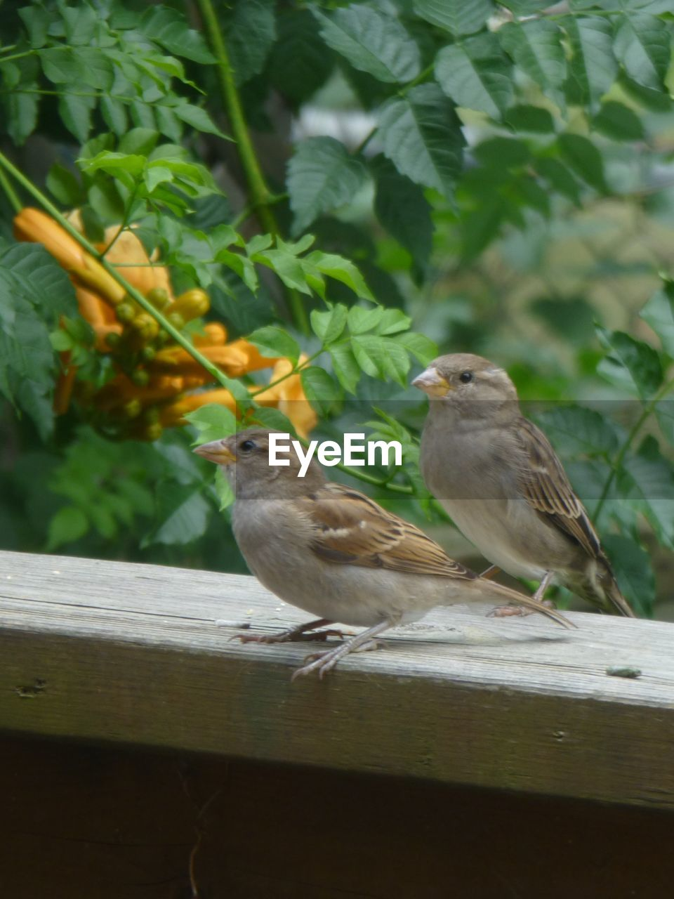 bird, animal, vertebrate, animal themes, animals in the wild, animal wildlife, group of animals, perching, two animals, sparrow, day, nature, no people, focus on foreground, wood - material, plant, outdoors, plant part, green color, leaf