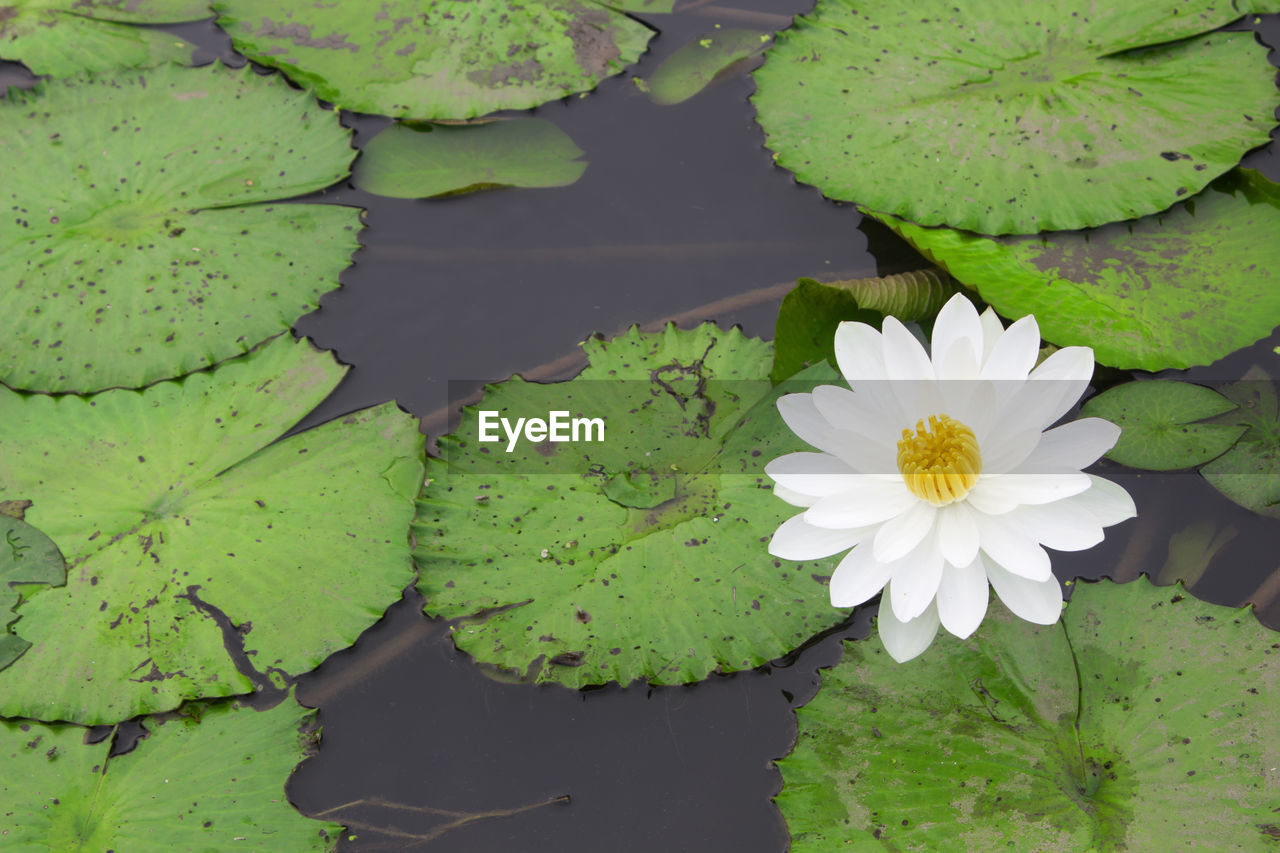 flower, flowering plant, plant, beauty in nature, water lily, lake, leaf, freshness, vulnerability, fragility, plant part, growth, green color, water, floating, floating on water, nature, close-up, lotus water lily, no people, flower head, outdoors, leaves