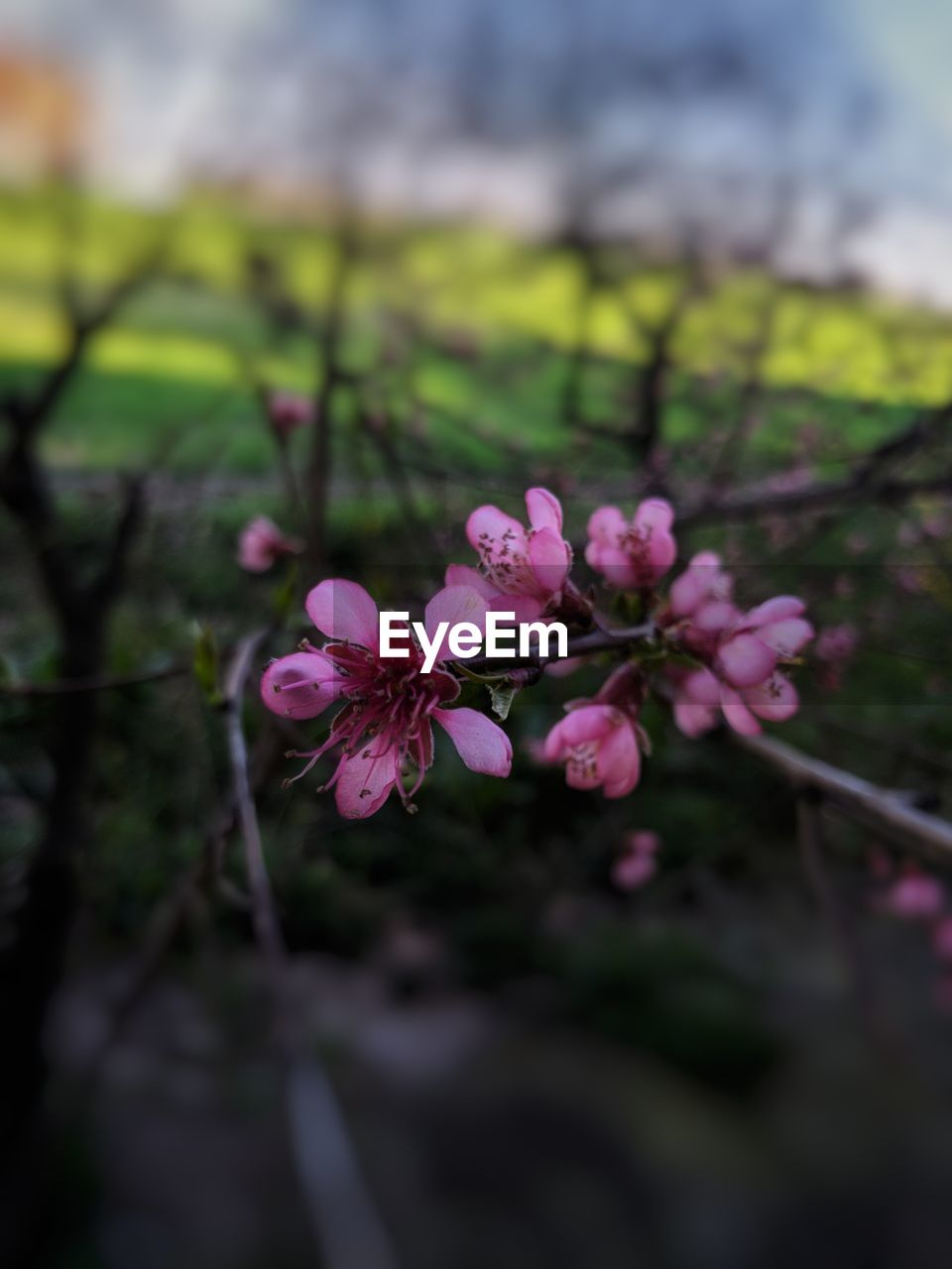 flower, flowering plant, beauty in nature, plant, freshness, vulnerability, fragility, growth, petal, pink color, close-up, nature, inflorescence, day, selective focus, flower head, no people, outdoors, blossom, focus on foreground, springtime, pollen, purple, cherry tree, cherry blossom