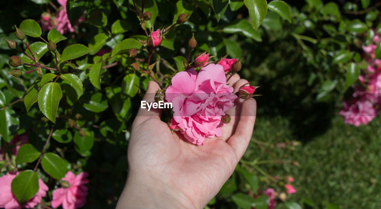 flower, plant, flowering plant, pink color, freshness, human hand, beauty in nature, hand, petal, vulnerability, fragility, real people, holding, nature, one person, inflorescence, flower head, human body part, close-up, growth, outdoors, finger