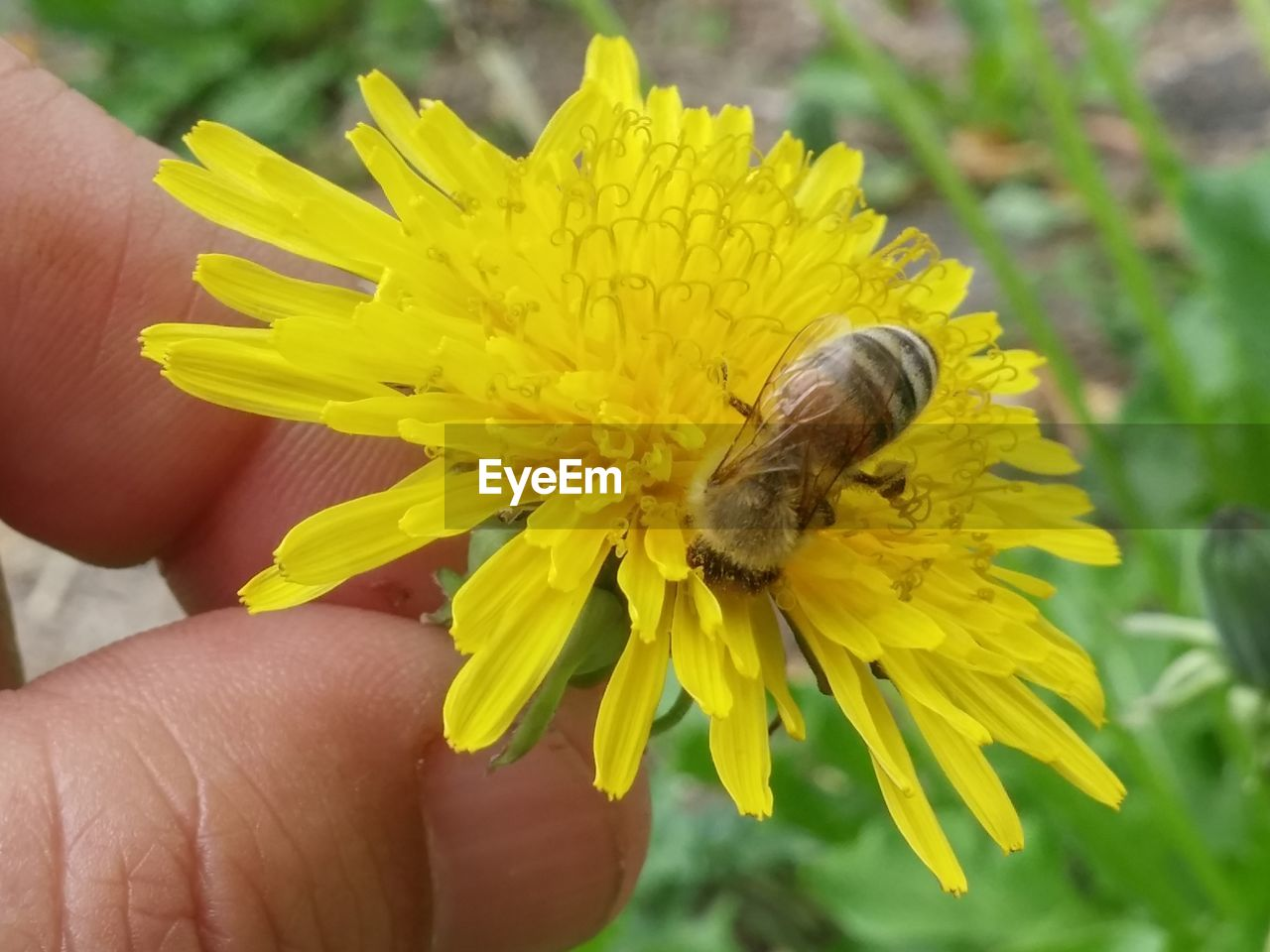flower, flowering plant, hand, human hand, human body part, yellow, beauty in nature, fragility, animal wildlife, vulnerability, plant, body part, close-up, animal themes, animal, freshness, flower head, one person, petal, focus on foreground, finger, outdoors, pollen, pollination, butterfly - insect