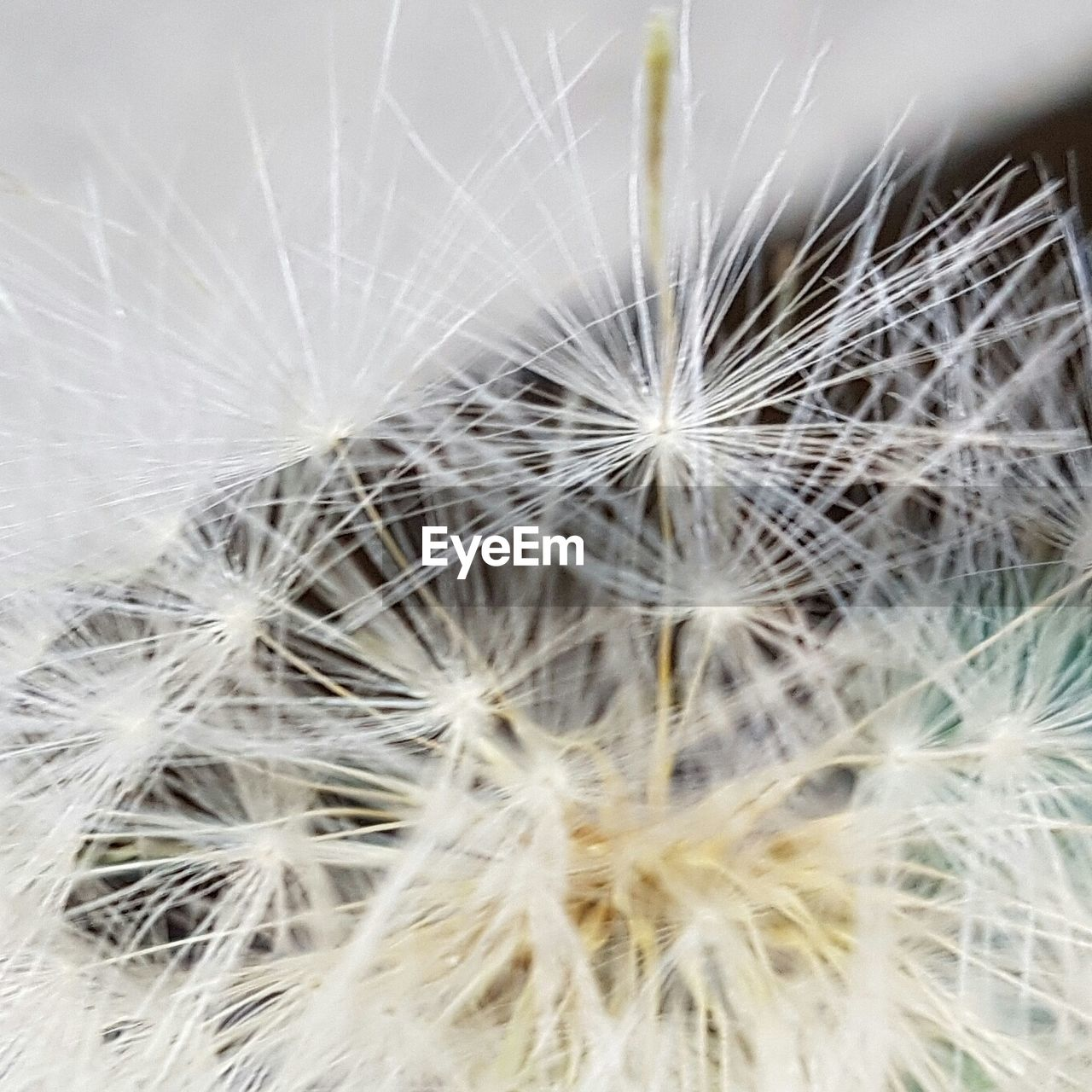 dandelion, flower, fragility, dandelion seed, softness, close-up, flower head, uncultivated, freshness, growth, wildflower, no people, nature, plant, beauty in nature, seed, backgrounds, full frame, outdoors, day