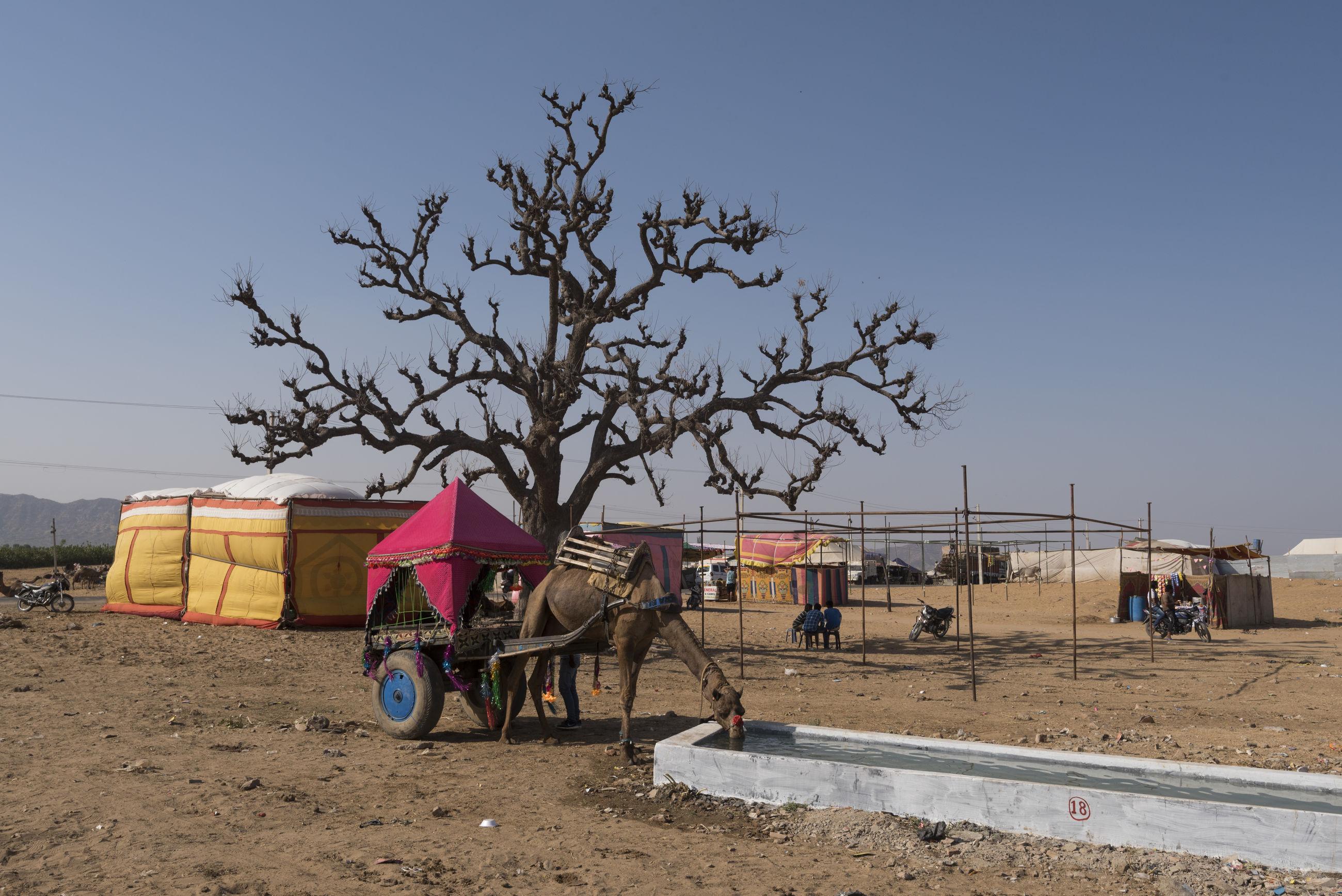 Camel cart against bare tree at desert