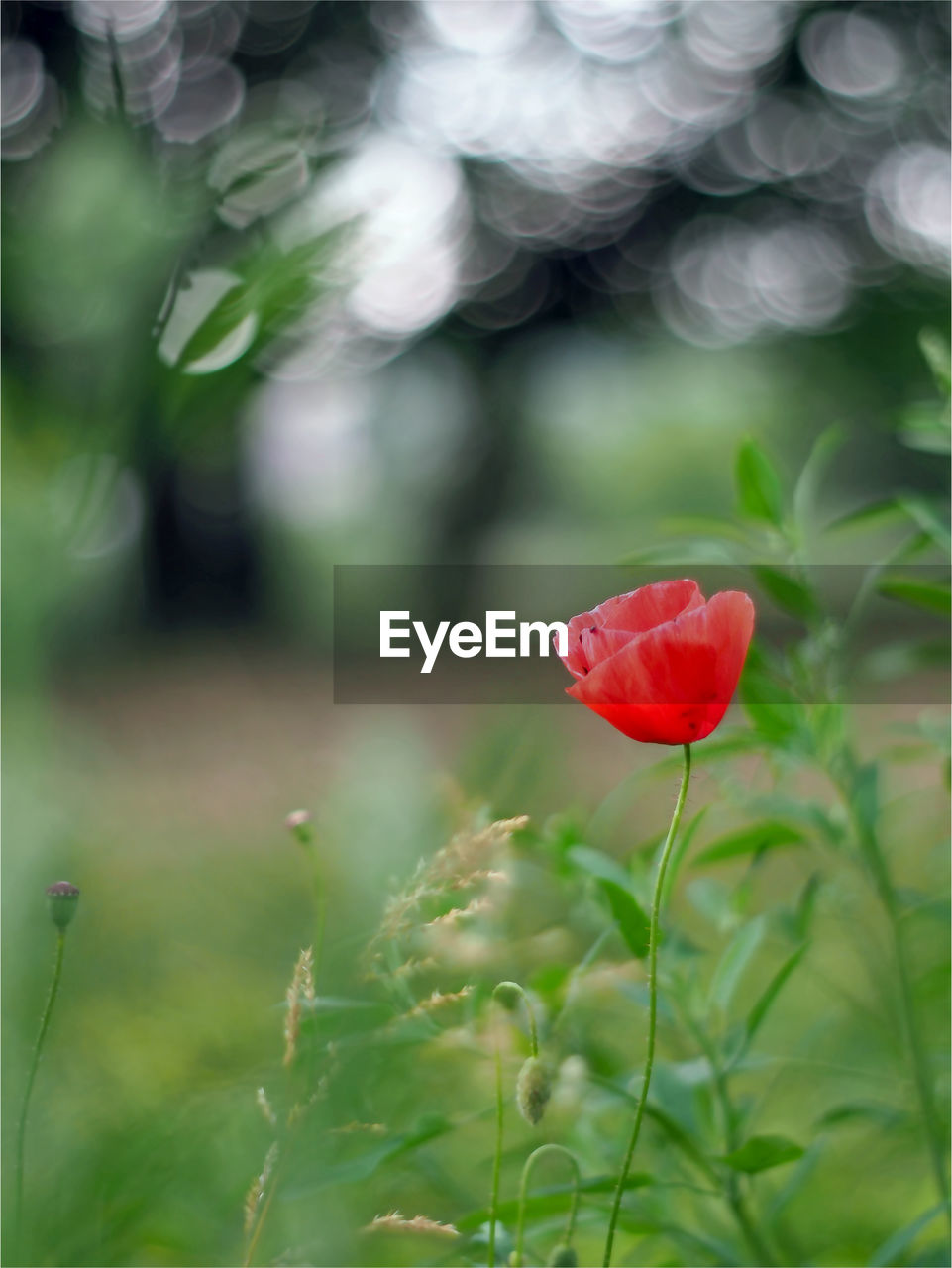 flower, flowering plant, plant, beauty in nature, fragility, freshness, vulnerability, red, growth, petal, close-up, nature, flower head, inflorescence, green color, focus on foreground, plant stem, leaf, selective focus, plant part, no people, outdoors