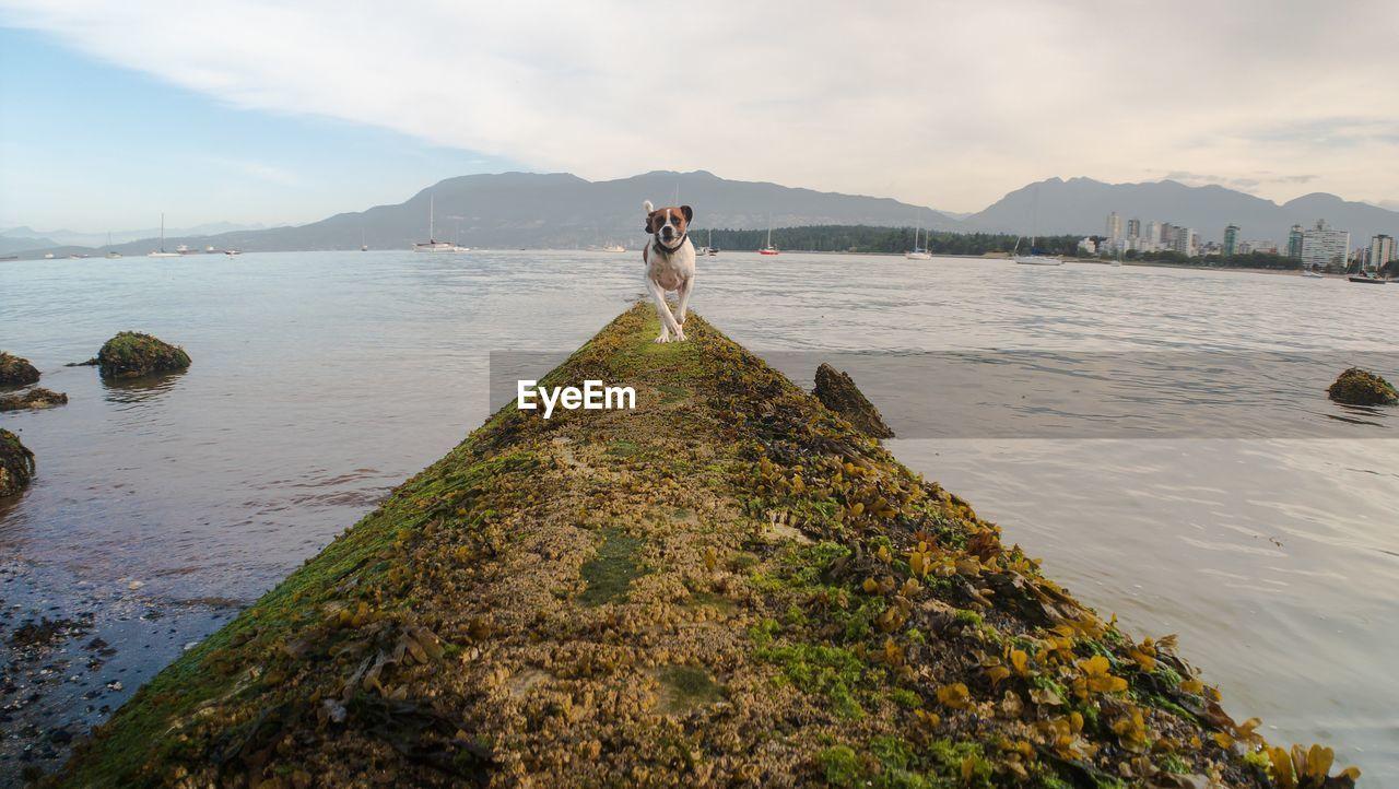 Dog running towards camera from ocean view