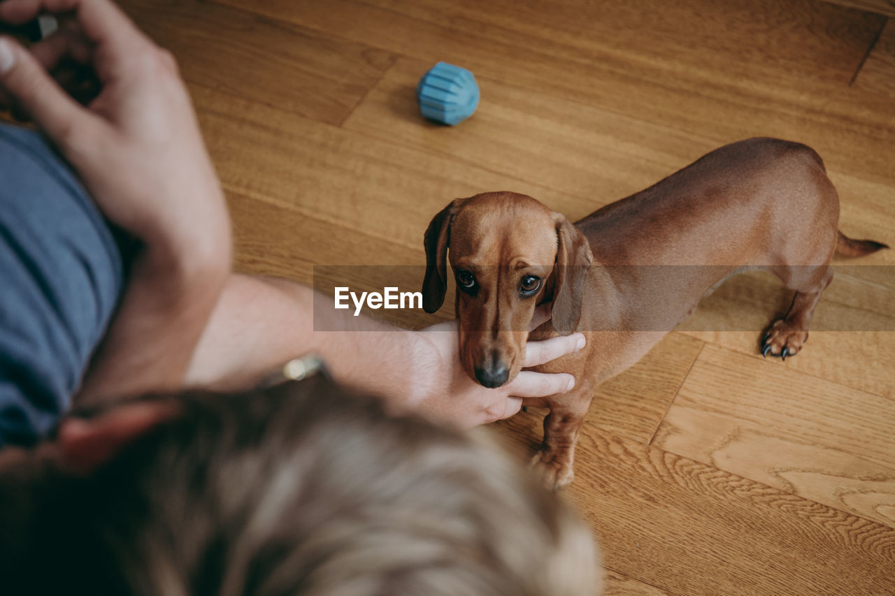 Cropped Hands Of Man Petting Dog Standing On Hardwood Floor