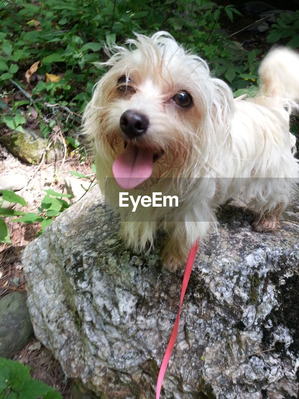 canine, dog, one animal, domestic, pets, animal, mammal, animal themes, domestic animals, vertebrate, day, animal hair, no people, hair, portrait, nature, close-up, sticking out tongue, rock, looking at camera, outdoors, mouth open