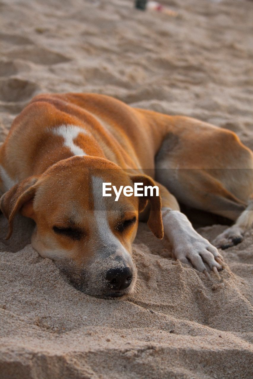 dog, mammal, pets, animal themes, domestic animals, sand, no people, relaxation, lying down, day, one animal, nature, outdoors, beagle, close-up