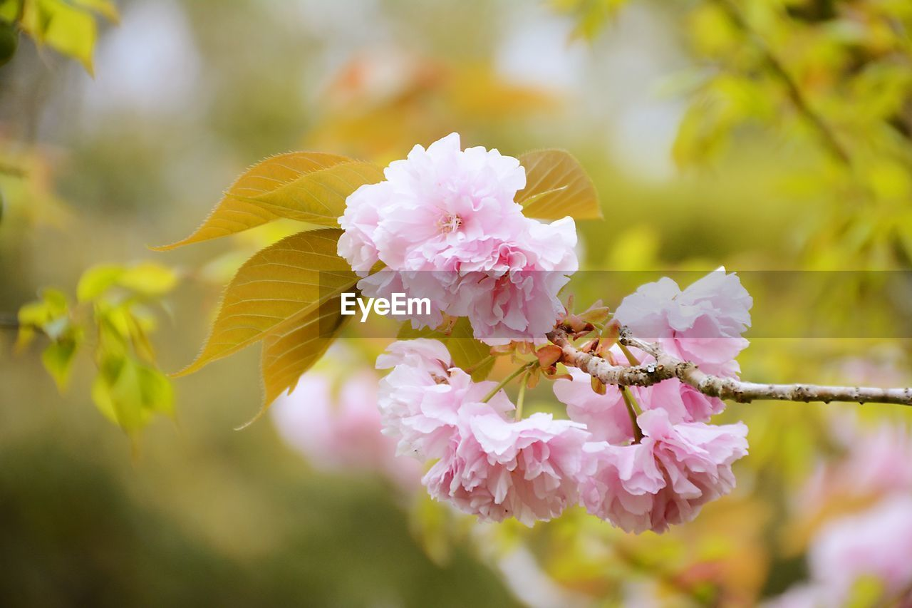 flower, flowering plant, growth, freshness, fragility, vulnerability, beauty in nature, plant, petal, close-up, pink color, flower head, inflorescence, nature, day, focus on foreground, selective focus, no people, tree, botany, outdoors, springtime, pollen, cherry blossom, cherry tree