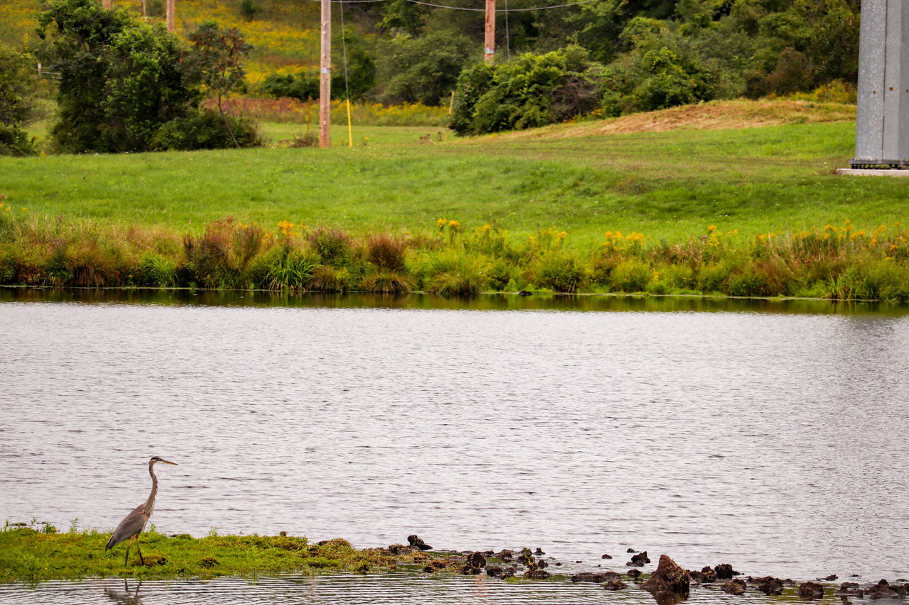 water, plant, animal themes, animal, grass, tree, nature, animals in the wild, animal wildlife, lake, bird, vertebrate, tranquility, no people, day, group of animals, tranquil scene, green color, environment, outdoors