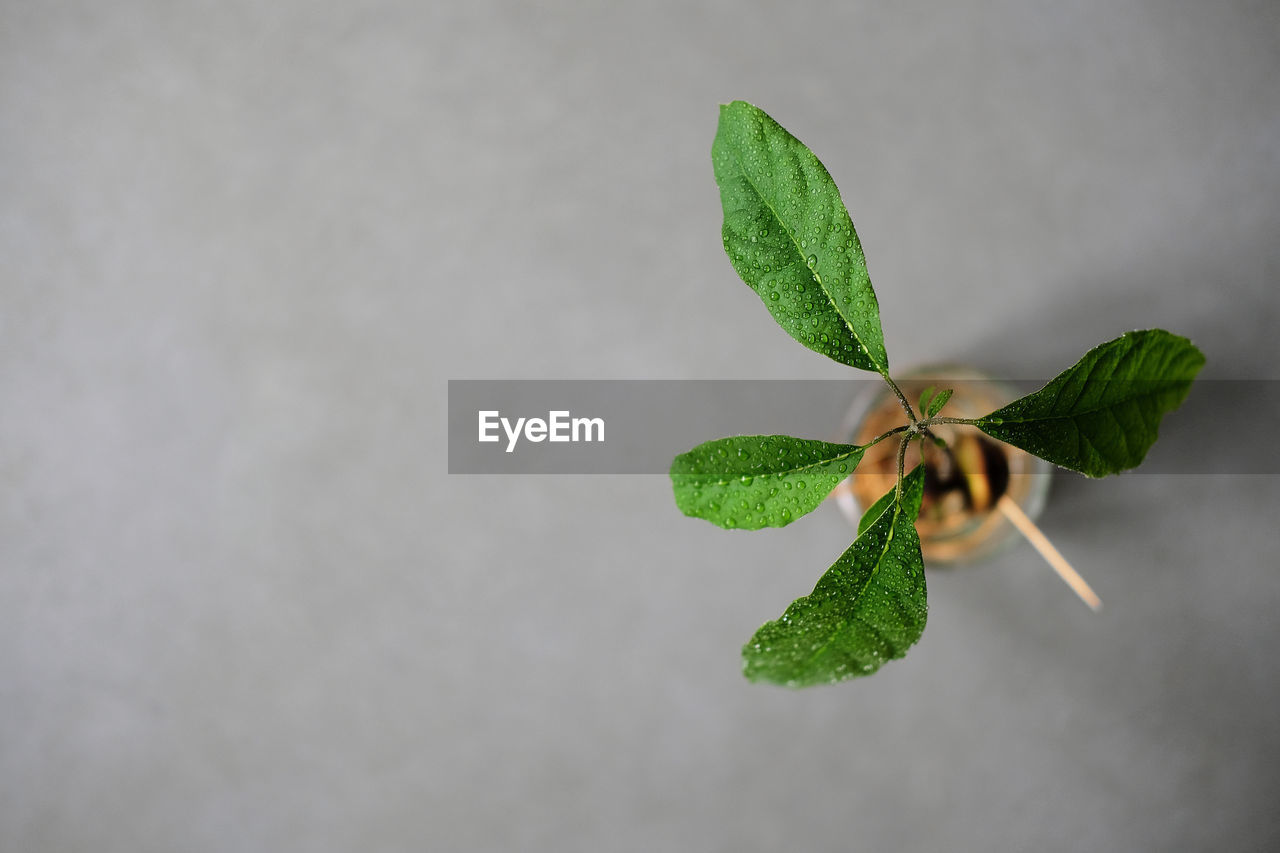 HIGH ANGLE VIEW OF PLANT LEAVES AGAINST WHITE BACKGROUND