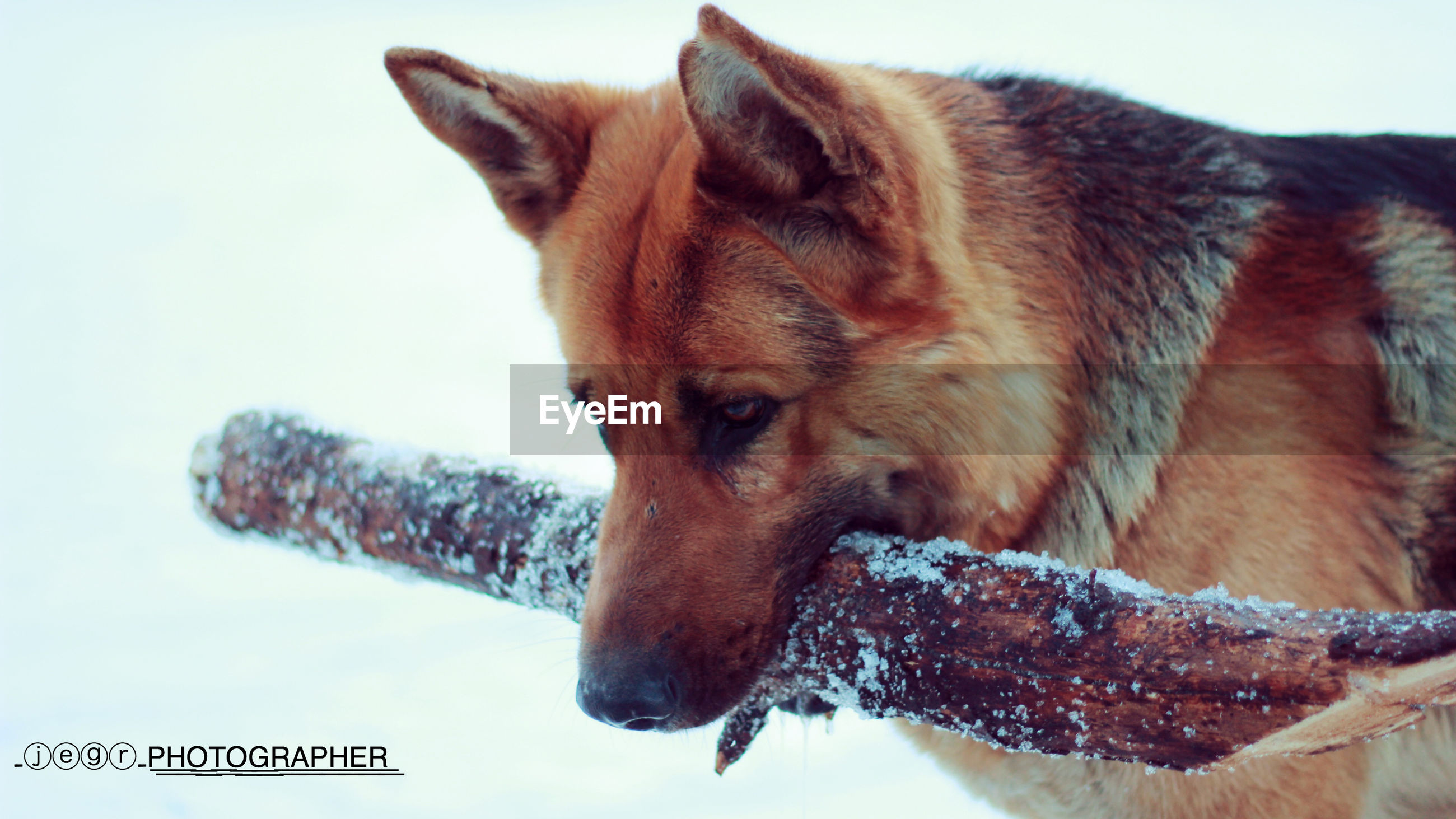 animal themes, one animal, mammal, domestic animals, pets, winter, cold temperature, snow, season, close-up, animal head, nature, animal body part, brown, dog, no people, looking away, side view, clear sky, day