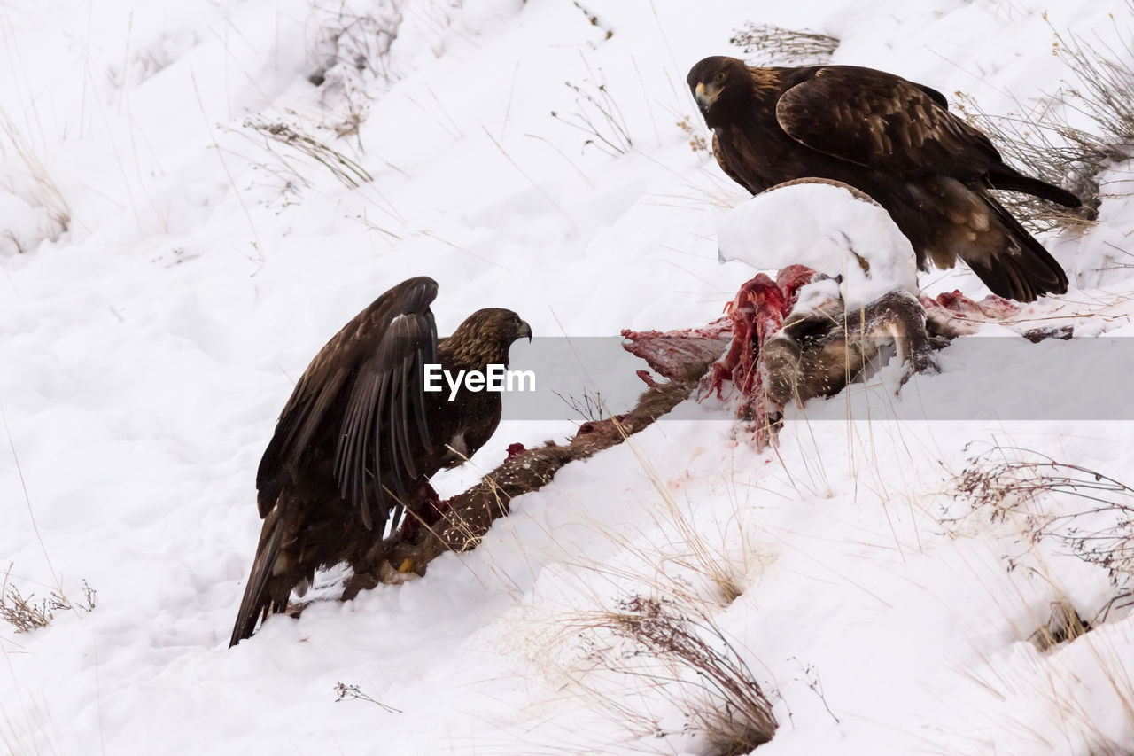 Eagles Feeding On Carcass During Winter