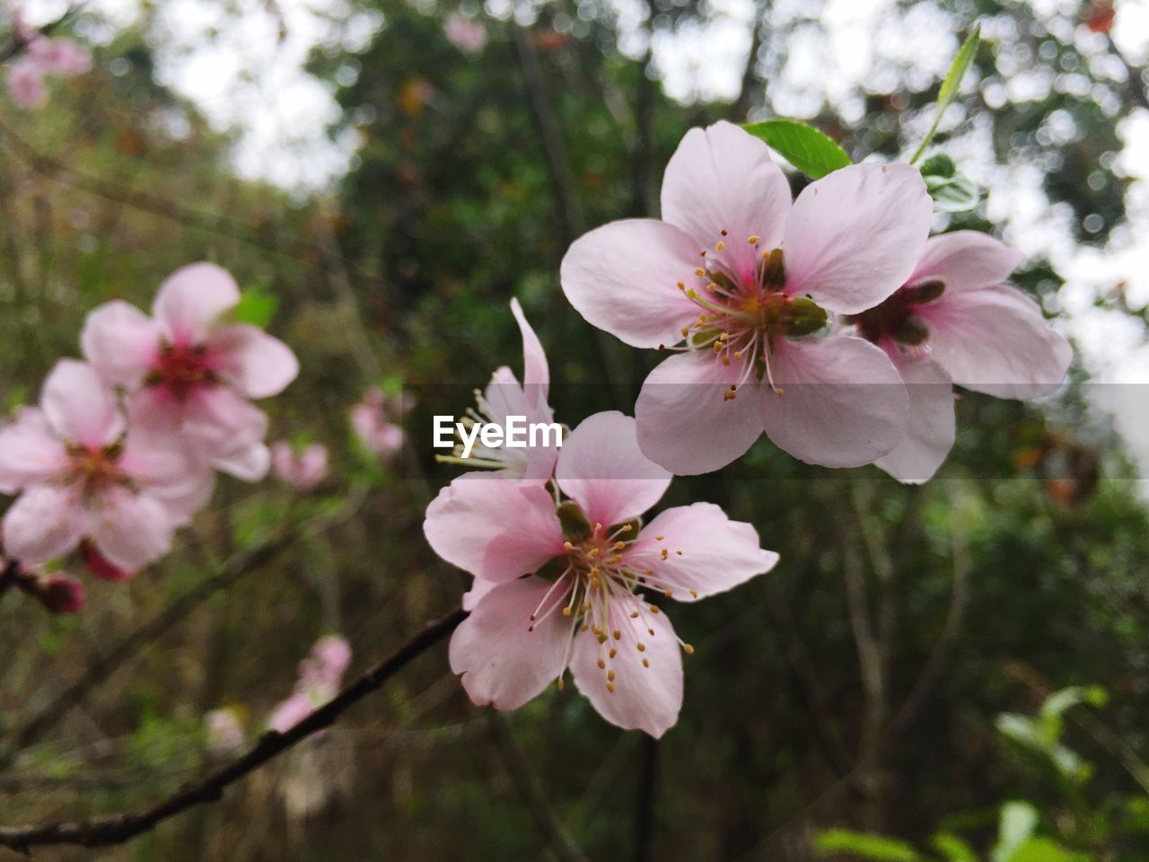 flower, fragility, petal, beauty in nature, freshness, blossom, growth, flower head, springtime, nature, white color, tree, pink color, stamen, apple blossom, no people, botany, day, pollen, branch, twig, close-up, outdoors, blooming