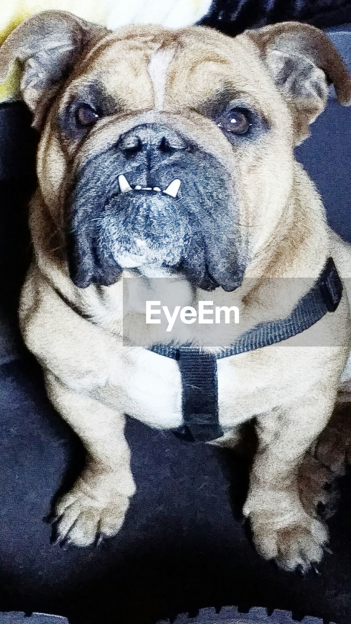 dog, pets, animal themes, domestic animals, one animal, mammal, portrait, looking at camera, close-up, indoors, animal head, high angle view, no people, front view, sitting, pet collar, relaxation, day, mouth open