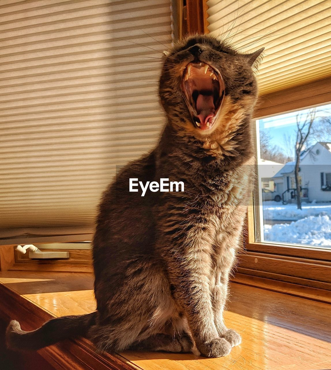 domestic cat, cat, feline, mammal, animal, animal themes, domestic, one animal, pets, domestic animals, vertebrate, mouth open, mouth, indoors, window, yawning, sitting, no people, focus on foreground, table, whisker, animal mouth, aggression