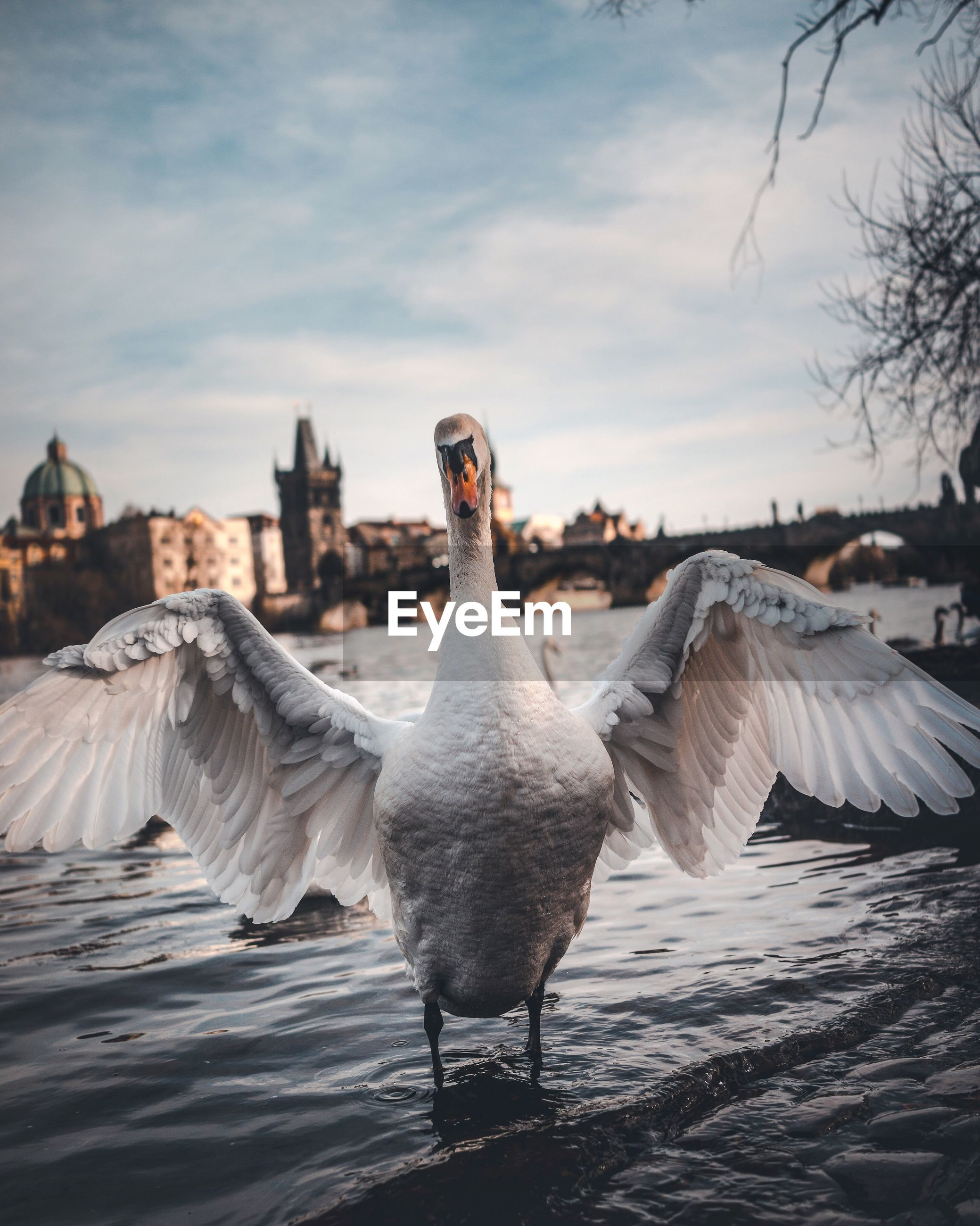 Swan in a river against the sky