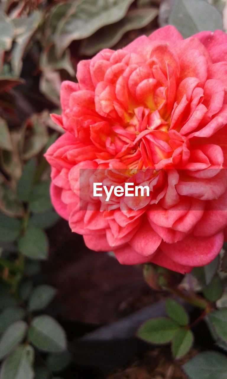 flower, petal, nature, beauty in nature, fragility, flower head, pink color, rose - flower, growth, plant, blooming, outdoors, no people, freshness, close-up, day, leaf, peony