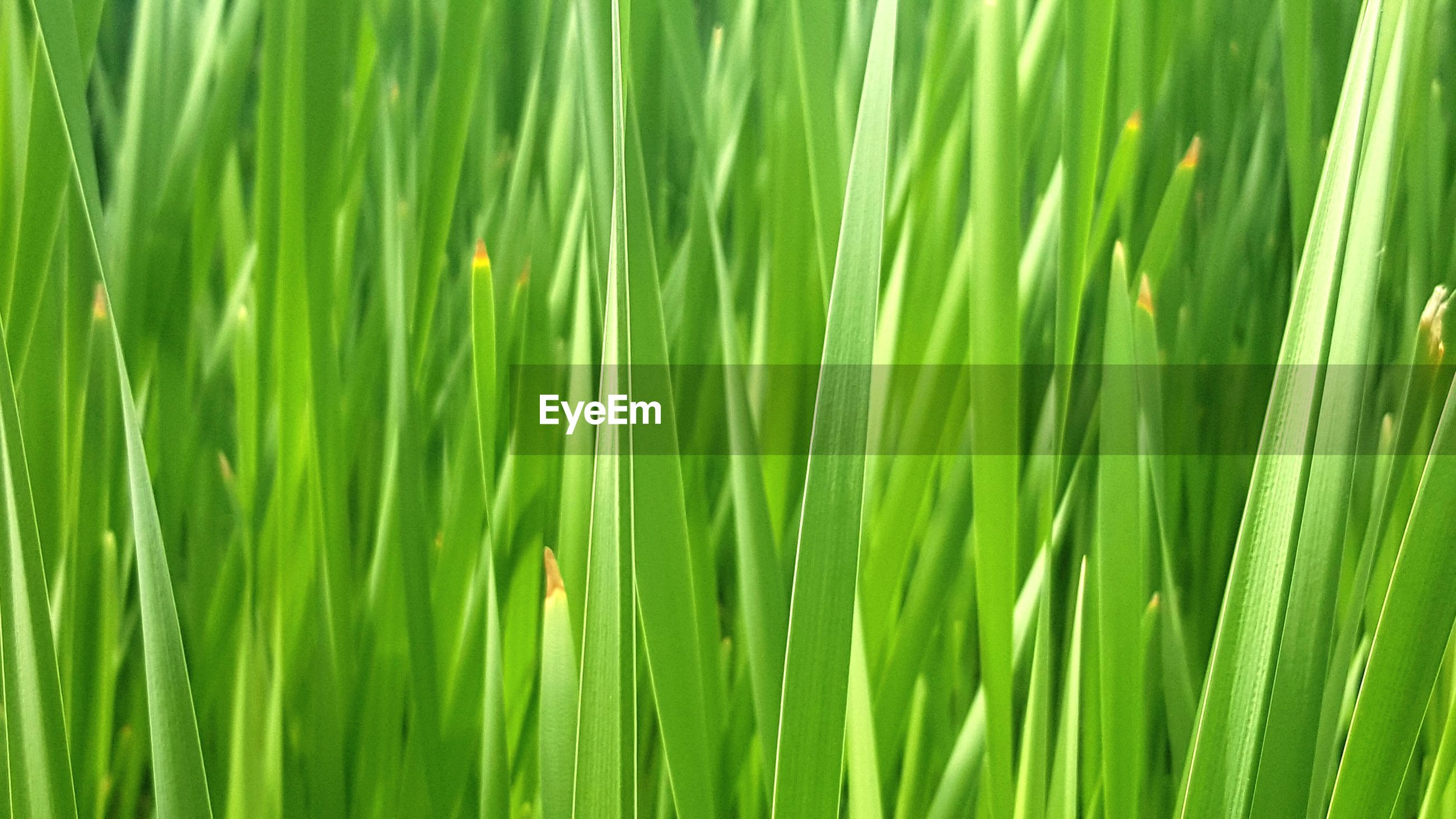 green color, full frame, growth, backgrounds, nature, beauty in nature, close-up, freshness, grass, drop, green, leaf, plant, wet, tranquility, water, field, lush foliage, day, blade of grass