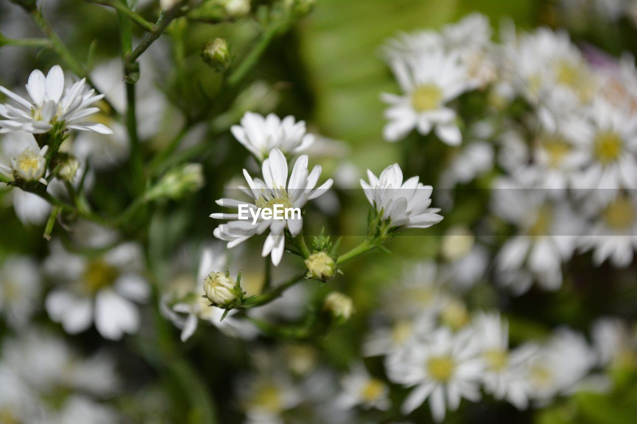 flower, nature, growth, white color, plant, beauty in nature, no people, blooming, fragility, outdoors, freshness, close-up, day, flower head