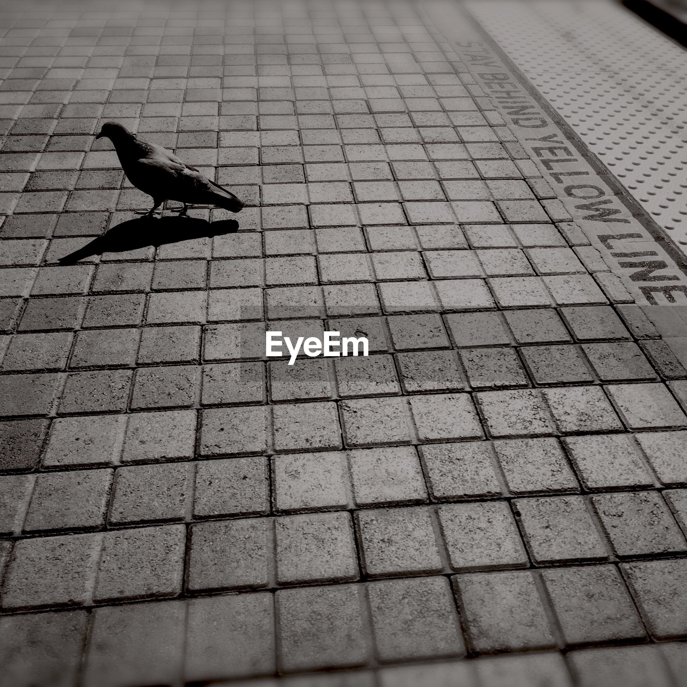 animal themes, one animal, bird, animals in the wild, cobblestone, wildlife, street, flying, high angle view, pigeon, pavement, spread wings, outdoors, shadow, sunlight, paving stone, full length, day, no people, footpath