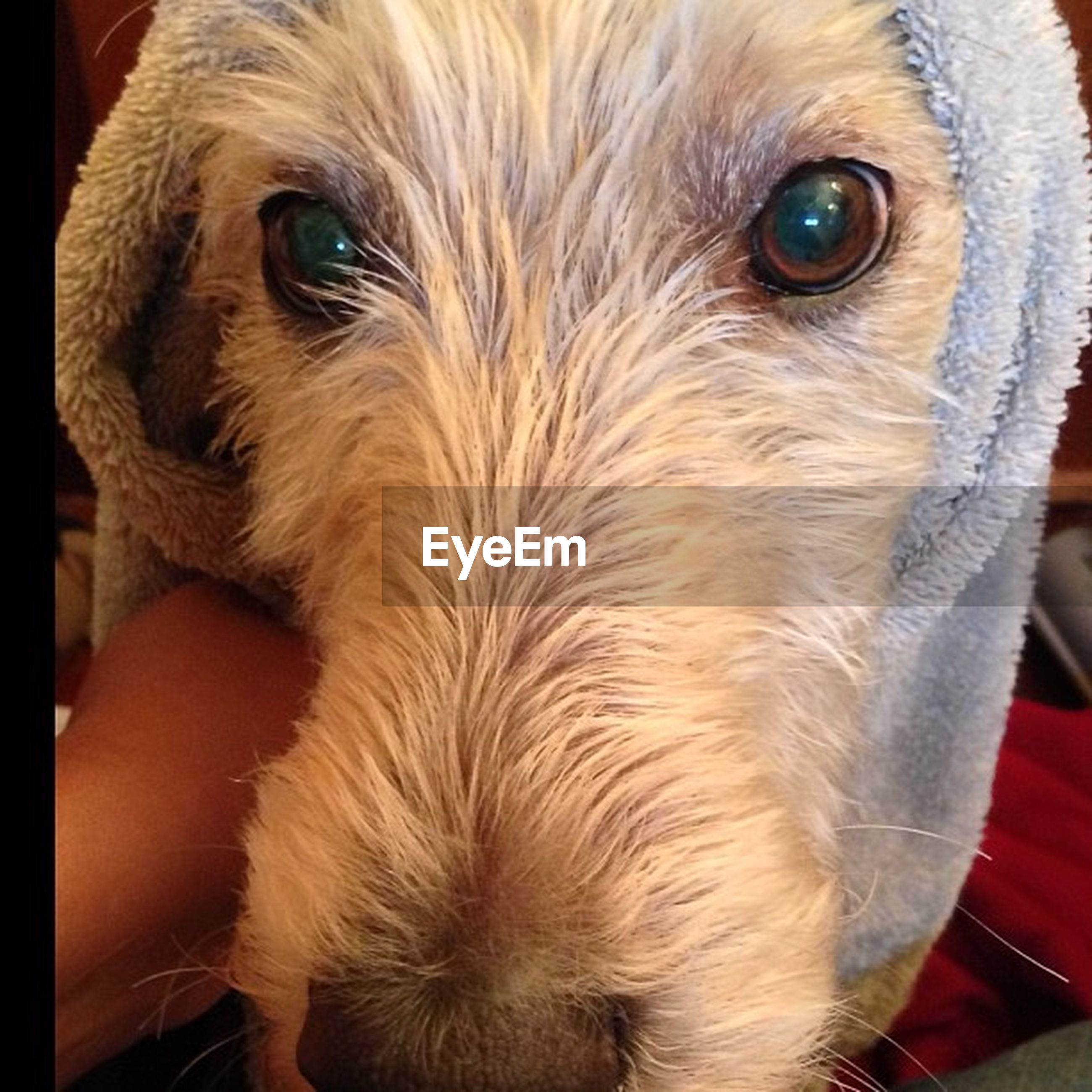 pets, one animal, animal themes, domestic animals, dog, indoors, animal head, close-up, mammal, portrait, animal body part, looking at camera, snout, animal eye, cute, animal hair, brown, no people, zoology