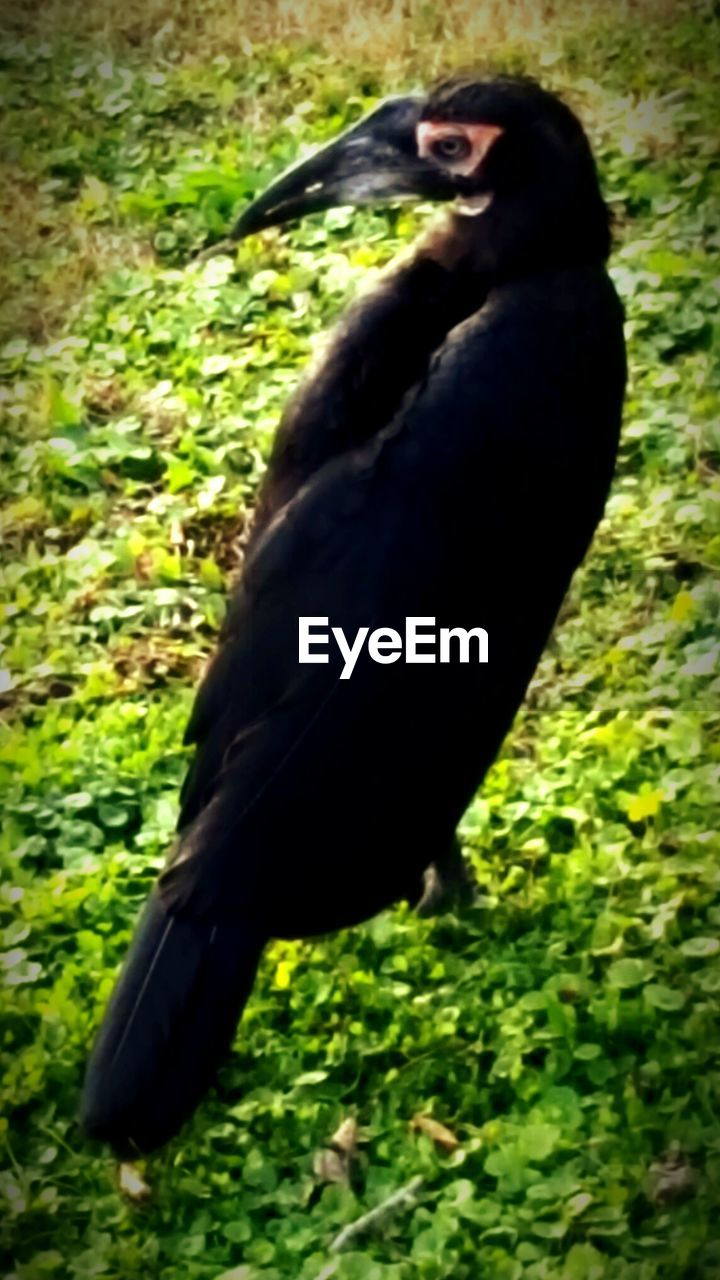 bird, one animal, animal themes, animals in the wild, grass, animal wildlife, beak, nature, black color, no people, field, green color, day, outdoors, close-up, perching