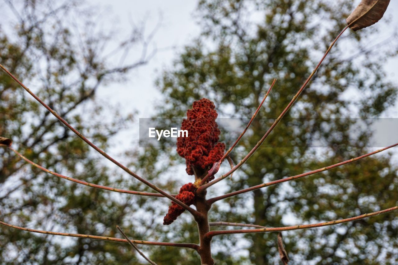 tree, nature, growth, red, low angle view, beauty in nature, no people, flower, catkin, branch, day, outdoors