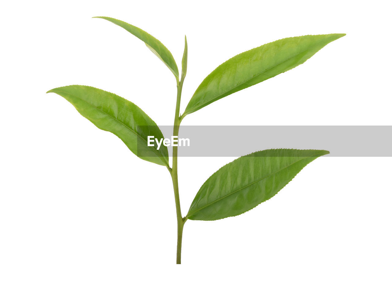 leaf, plant part, green color, white background, studio shot, close-up, nature, no people, cut out, plant, beauty in nature, indoors, freshness, growth, leaves, leaf vein, vulnerability, fragility, plant stem, tea leaves