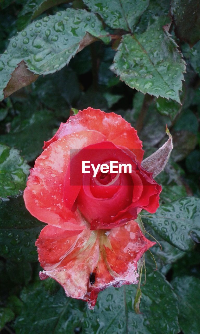 drop, rose - flower, flower, growth, petal, nature, fragility, beauty in nature, wet, flower head, plant, leaf, water, freshness, red, raindrop, no people, close-up, day, outdoors, blooming