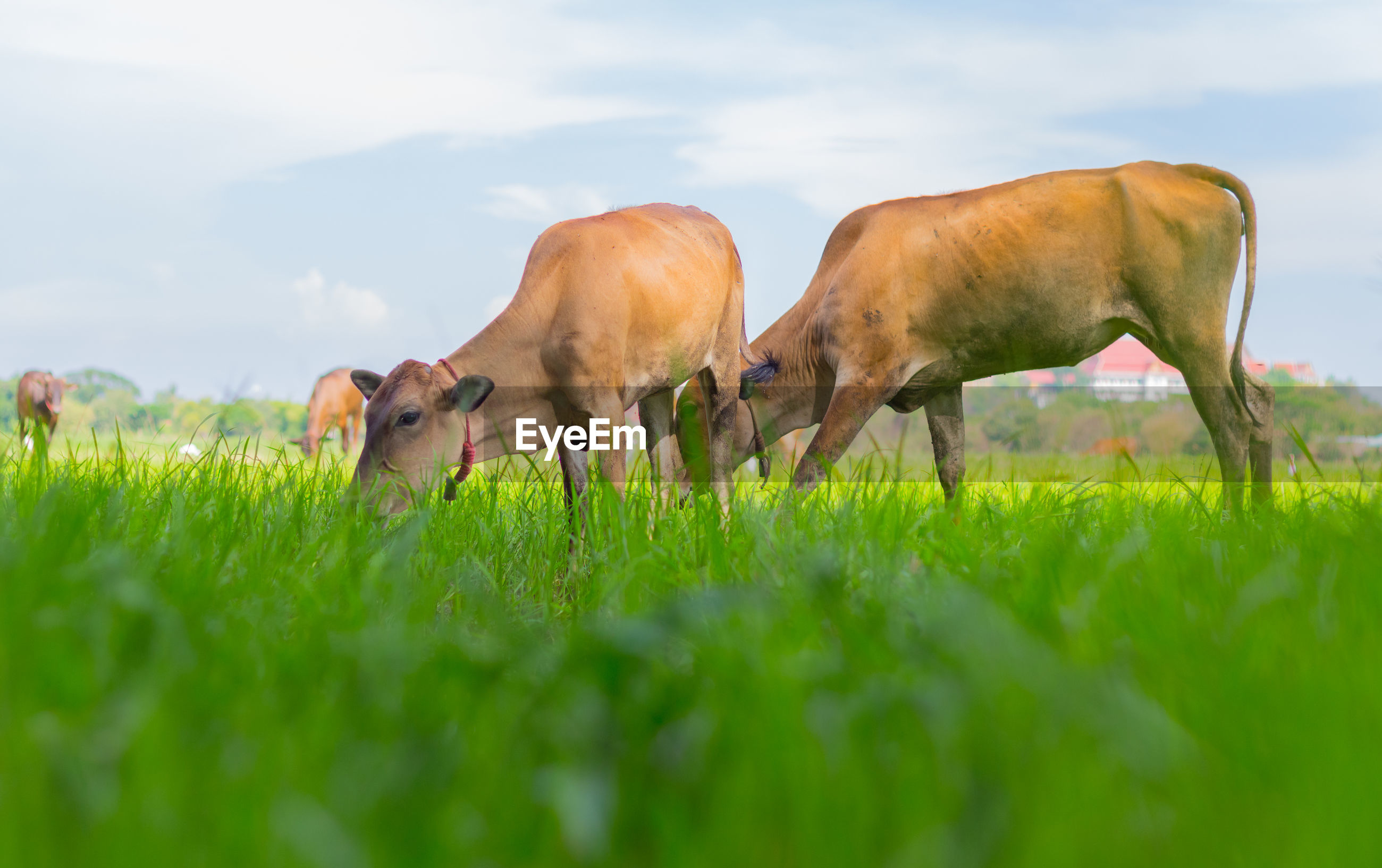 COWS GRAZING IN FIELD