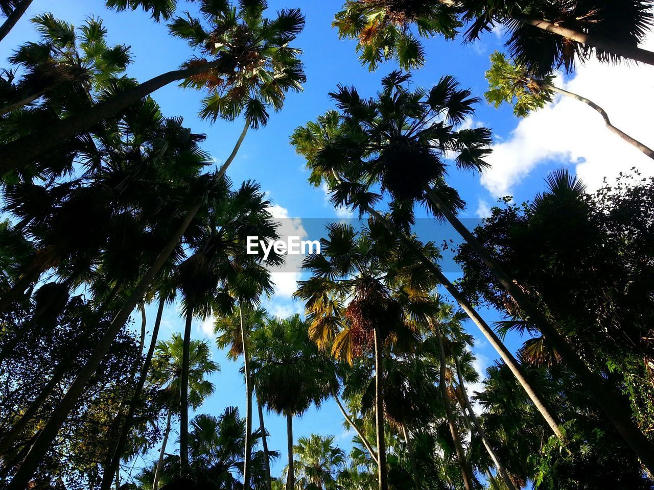 tree, plant, low angle view, sky, growth, beauty in nature, tropical climate, no people, tranquility, tall - high, palm tree, trunk, tree trunk, nature, day, tranquil scene, scenics - nature, land, outdoors, green color, coconut palm tree, directly below, tree canopy