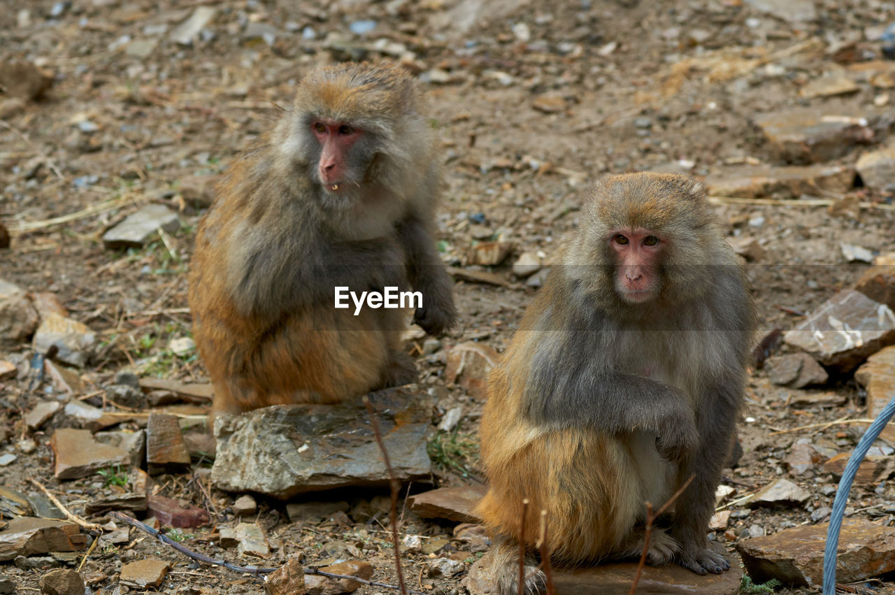primate, mammal, animals in the wild, animal wildlife, group of animals, two animals, sitting, solid, vertebrate, no people, day, rock, japanese macaque, rock - object, young animal, outdoors, animal family, care