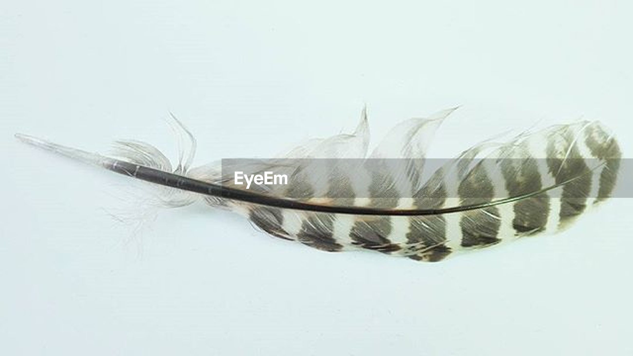 studio shot, white background, close-up, still life, single object, copy space, indoors, white color, no people, art and craft, dead animal, feather, high angle view, cut out, pattern, creativity, animal themes, art, one animal, animal representation