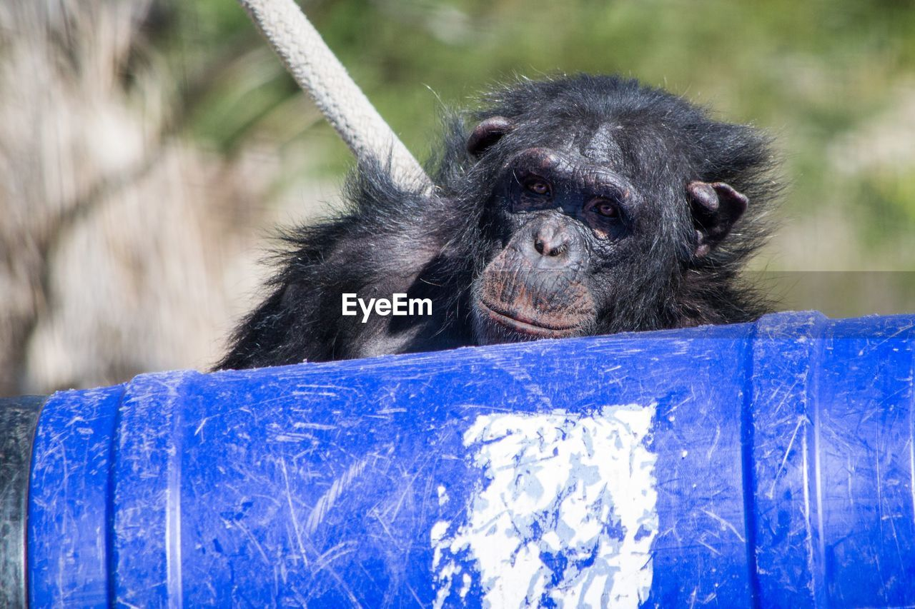 Portrait of chimpanzee in front of container