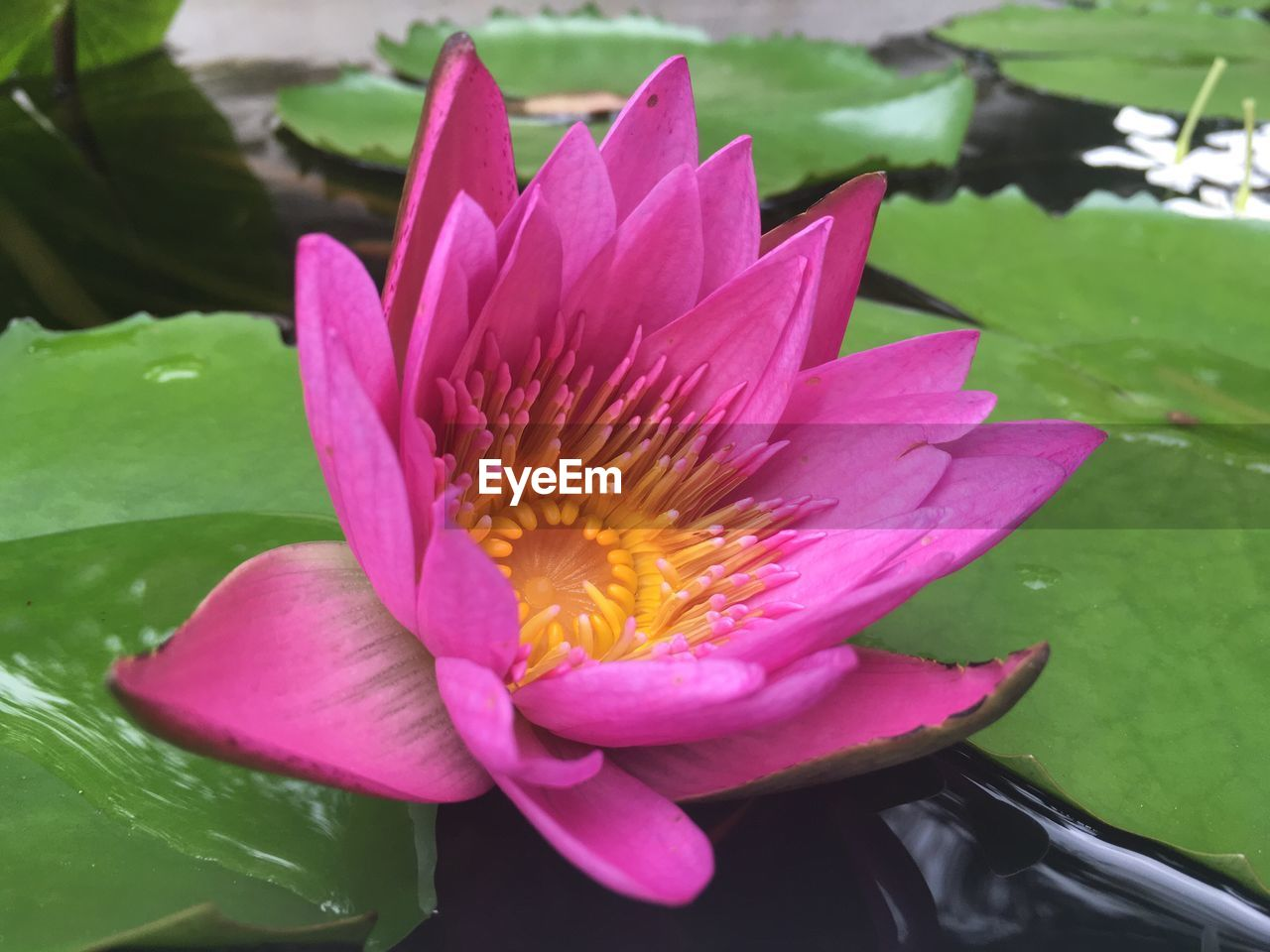 flower, petal, beauty in nature, nature, fragility, flower head, water, freshness, pink color, lotus water lily, water lily, growth, lotus, leaf, day, plant, no people, wet, close-up, outdoors, lily pad, blooming