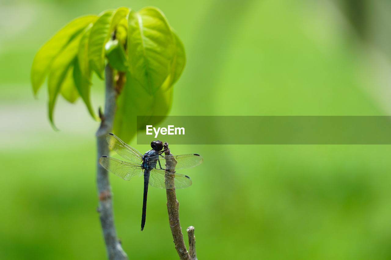 animals in the wild, animal wildlife, insect, invertebrate, green color, plant, animal themes, animal, focus on foreground, close-up, one animal, day, nature, plant part, growth, leaf, beauty in nature, no people, damselfly, plant stem, outdoors, animal wing
