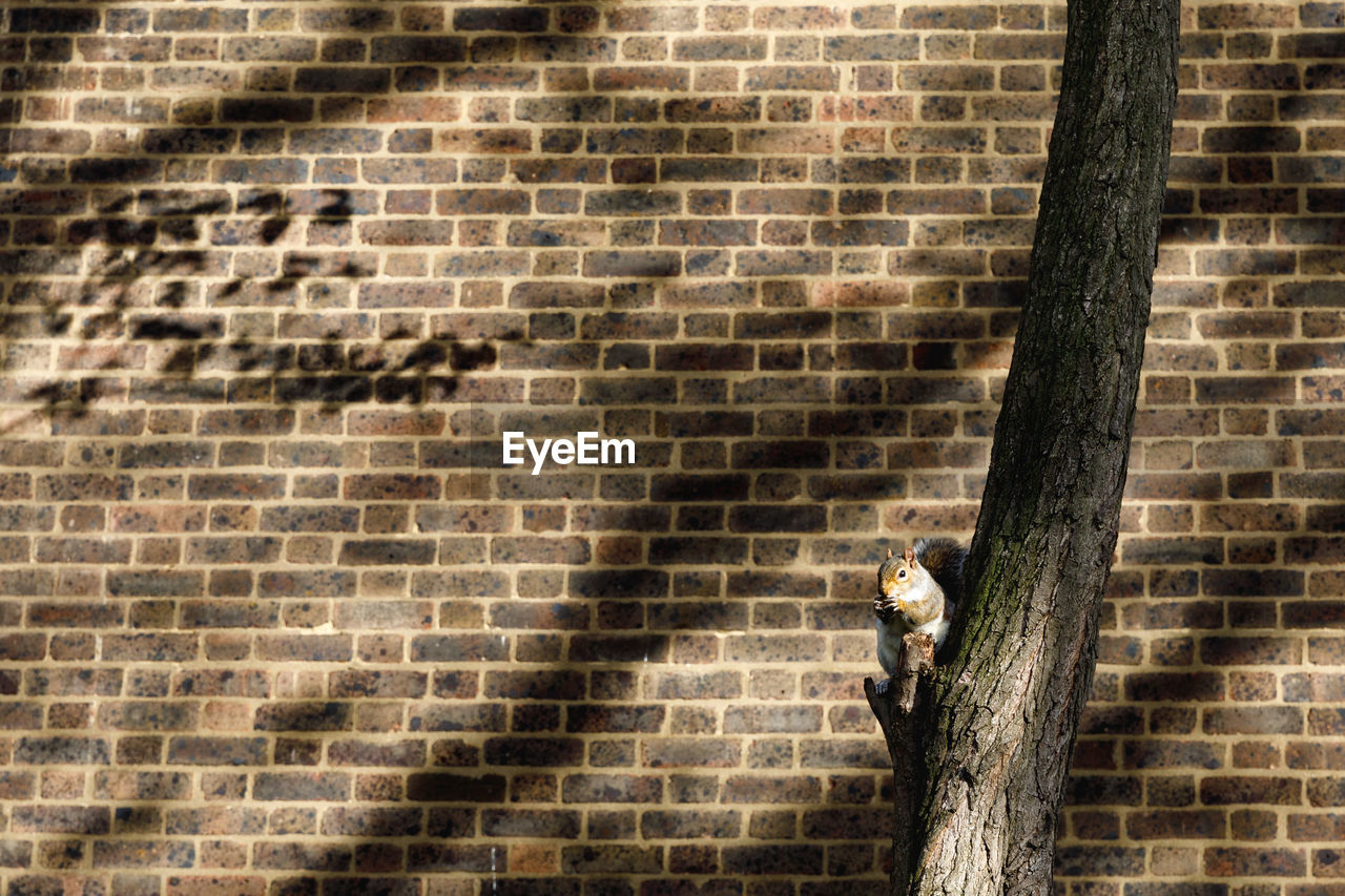 Squirrel sitting on tree trunk against wall