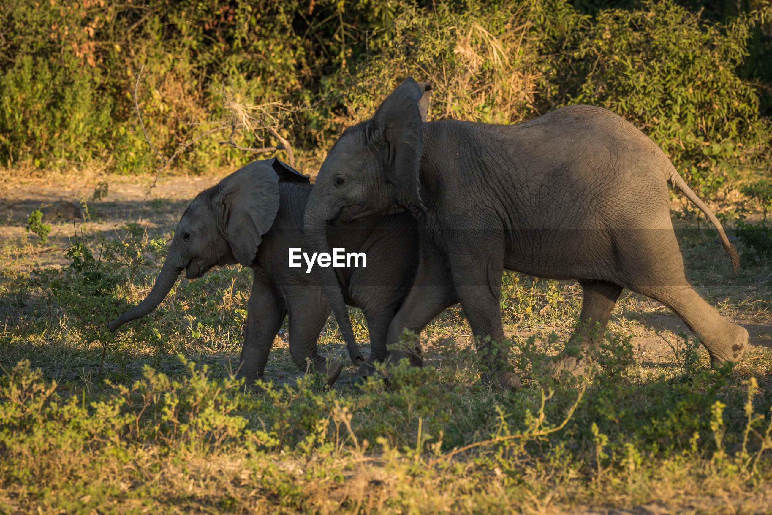 Side view of playful african elephant calves on field