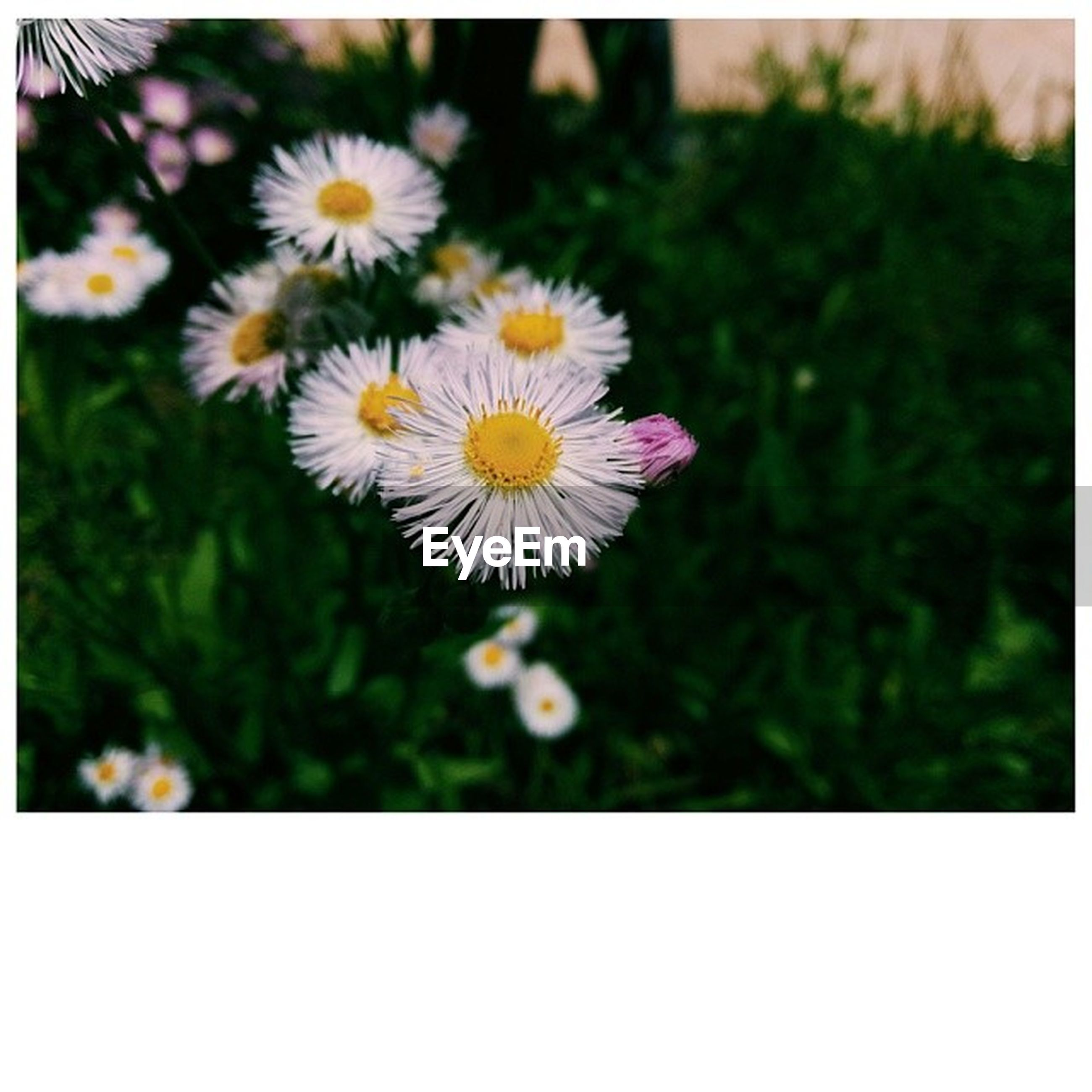 flower, transfer print, freshness, fragility, petal, flower head, growth, beauty in nature, auto post production filter, daisy, white color, close-up, blooming, nature, focus on foreground, pollen, plant, selective focus, single flower, in bloom