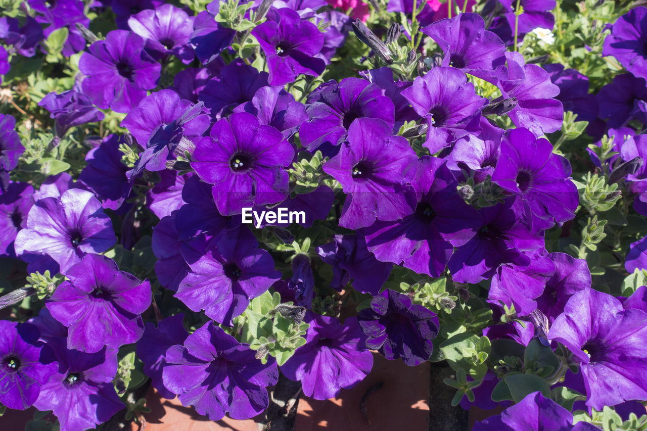 flower, purple, growth, petal, nature, plant, beauty in nature, fragility, no people, outdoors, freshness, blooming, flower head, day, petunia