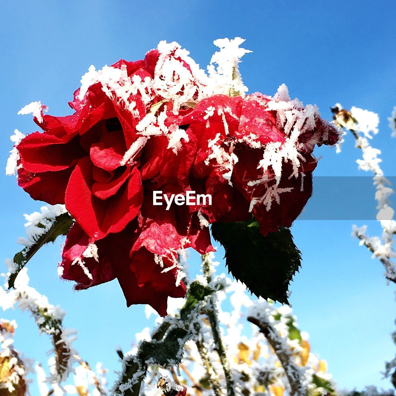 flower, growth, nature, fragility, beauty in nature, low angle view, day, petal, red, no people, tree, outdoors, sky, close-up, sunlight, blossom, freshness, plant, flower head, springtime, blooming, branch, hibiscus