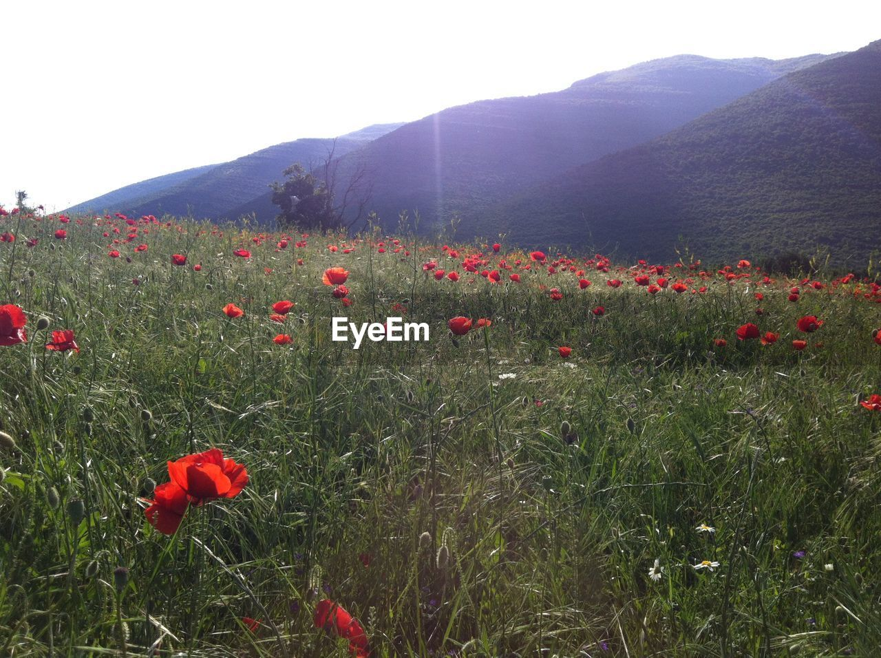 red, nature, flower, growth, poppy, field, beauty in nature, plant, mountain, no people, landscape, grass, tranquility, vegetation, outdoors, freshness, day, scenics, blooming, sky