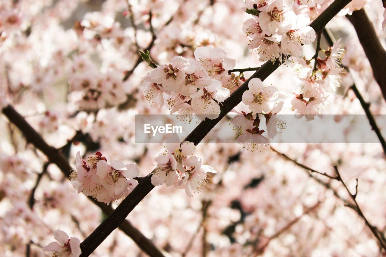 flowering plant, flower, fragility, freshness, plant, blossom, tree, growth, vulnerability, springtime, branch, beauty in nature, cherry blossom, close-up, nature, twig, day, petal, pink color, no people, cherry tree, outdoors, flower head, pollen, bunch of flowers, spring