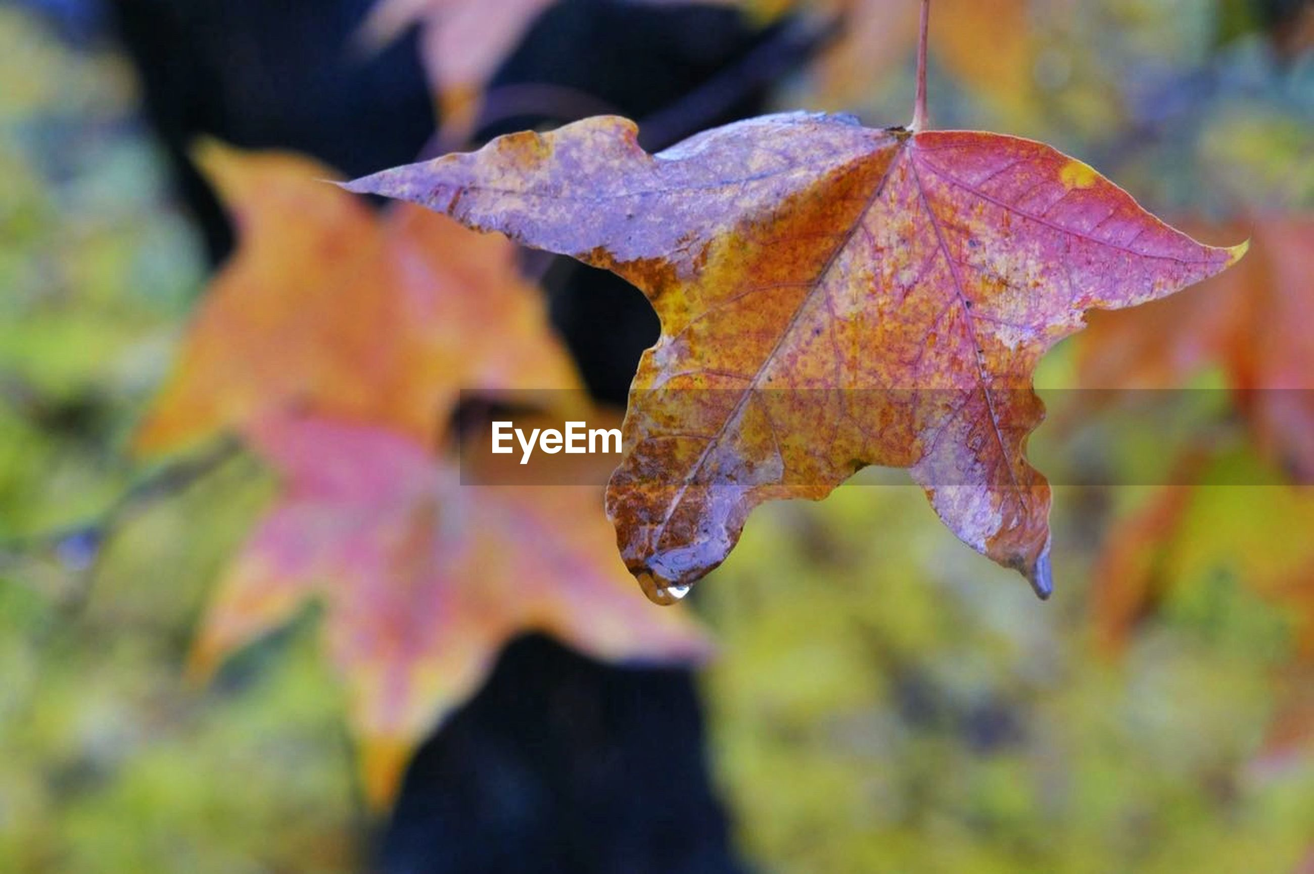 leaf, season, autumn, close-up, change, focus on foreground, nature, beauty in nature, growth, selective focus, maple leaf, leaves, fragility, leaf vein, wet, drop, day, outdoors, tranquility, natural pattern