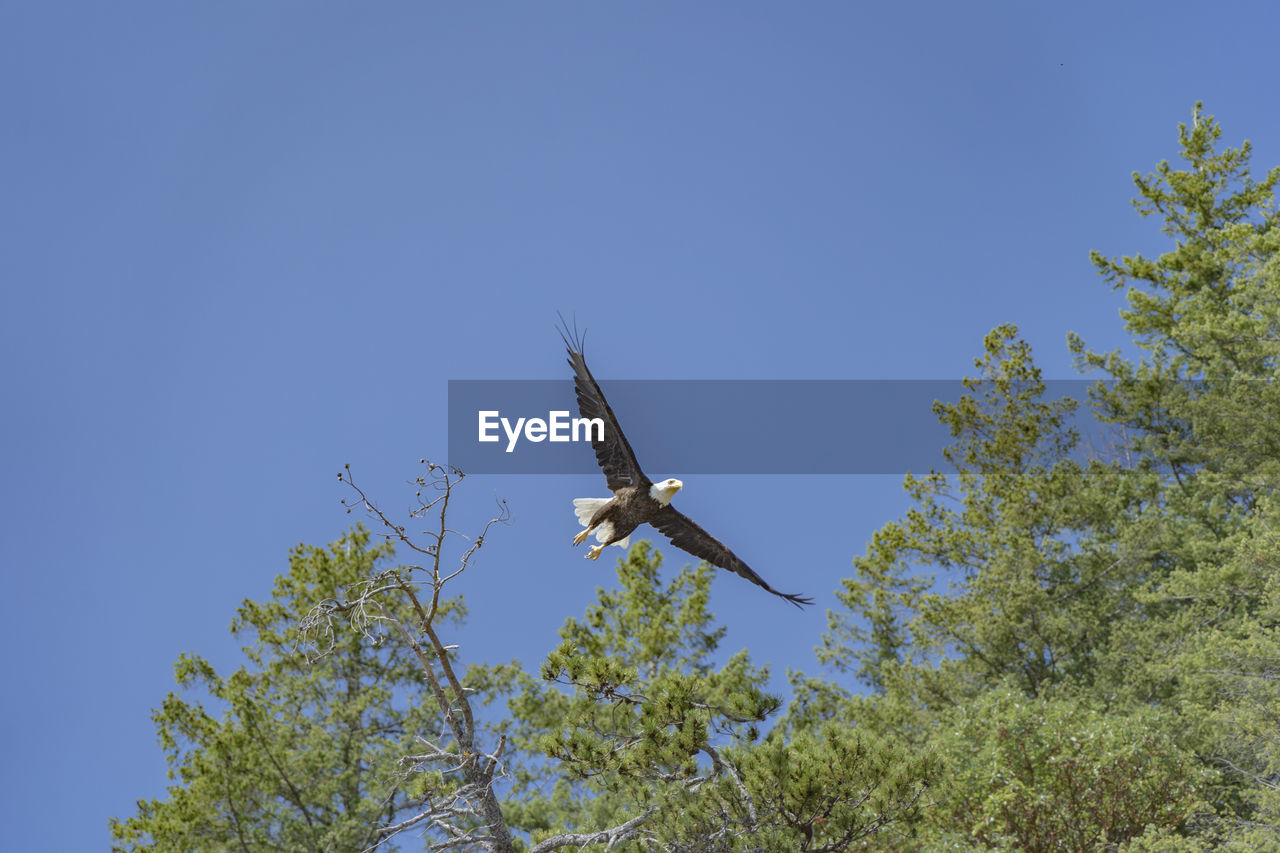 sky, low angle view, tree, clear sky, animal wildlife, animals in the wild, plant, flying, blue, bird, copy space, animal themes, vertebrate, nature, day, animal, one animal, no people, mid-air, spread wings, outdoors